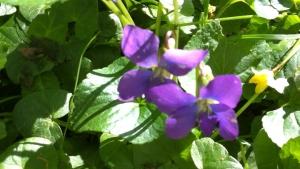 spring_violets